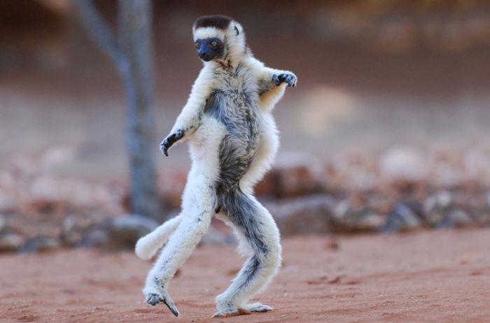 Сифака — обезьяна семейства индриевых, Мадагаскар. Сравнительно новый род приматов, открыт лишь в 2004 году