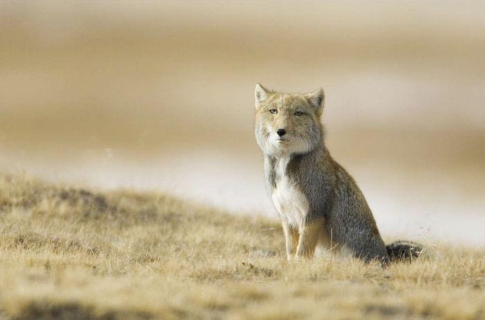 Тибетская лиса. Встречается в Тибете, на северо-западе Индии и в Северном Непале на больших высотах