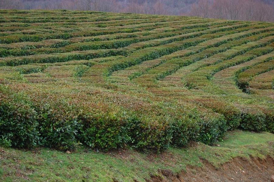 Валовой сбор чайного листа в сочи с 2000 по 2015 год сократился с 1495 тонн до 316 тонн в год