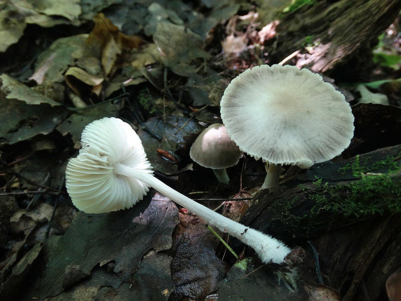 Мицена белоножковая (Mycena niveipes). Автор фото: Привалова Марина