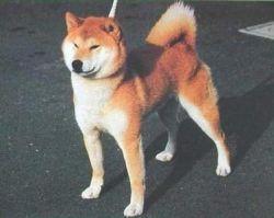 Kamui Go Aman No Kawasou (кобель) - Лучший Сиба и ИЧИБАН 88-й ГН.jpg