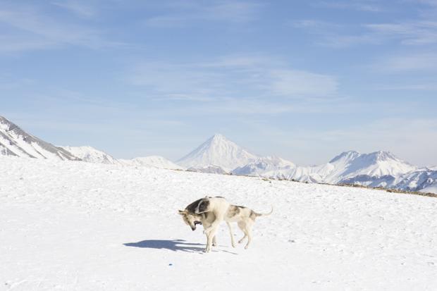 Бродячие собаки дерутся на склонах Дарбандсара перед вершиной Дамаванд, самым высоким в Азии вулкано
