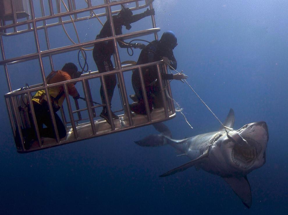 4. Охотничья тактика зависит от вида добычи. У Сил-Айленда белые акулы на большой скорости напа