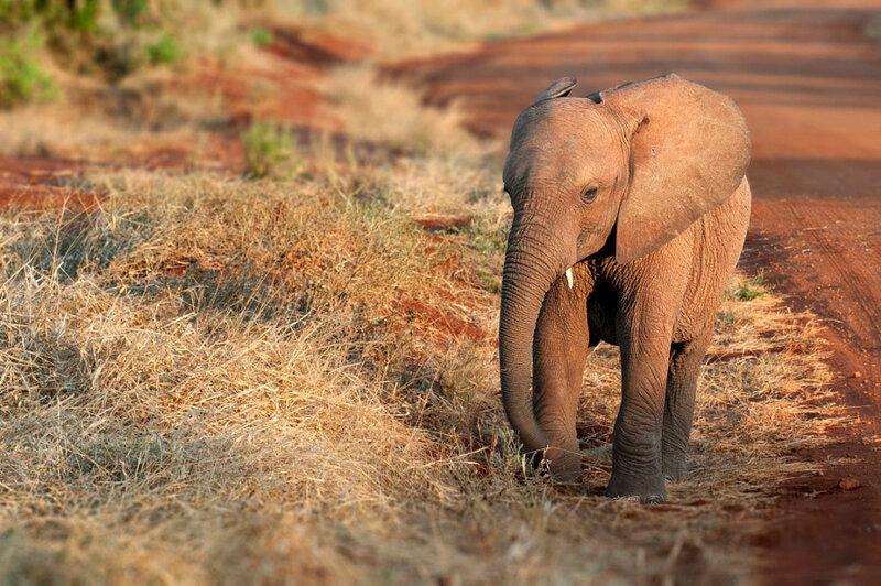 Слонёнок. Автор фото: Riccardo Trevisani