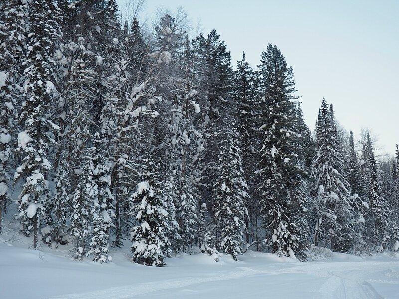 Ёлки в Горной Шории (Firs in Mountain Shoria)