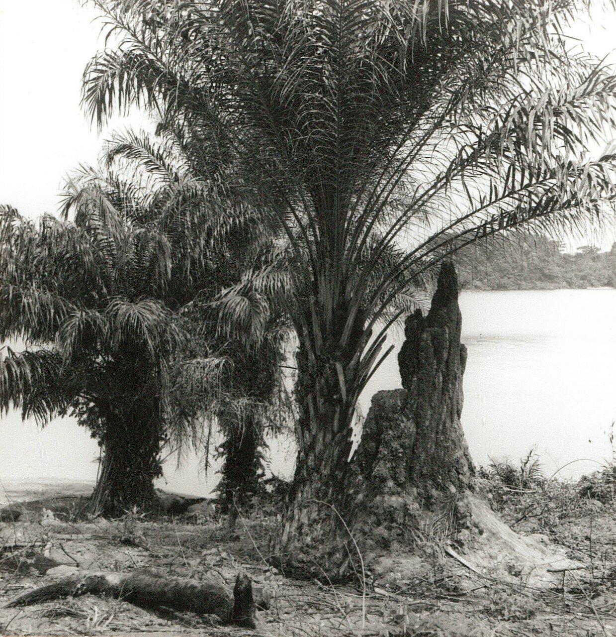 Абиджан. Остров Буле в лагуне  Эбрие. Пальмы и термитник