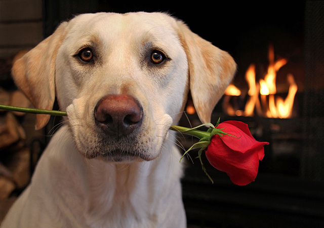 Прости меня! Белый пес с красивой розой