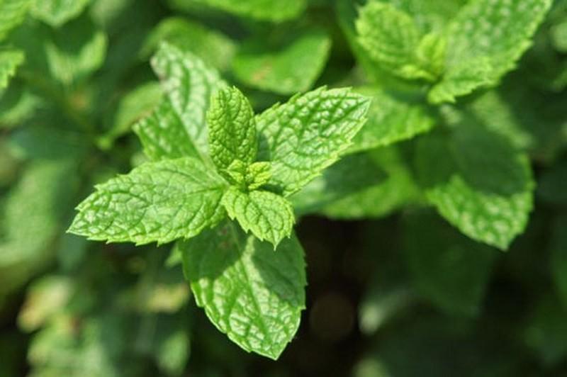 7. Перечная мята Эфирное масло этого растения отлично отпугивает не только комаров, но и пауков. Есл