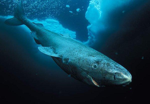Ученые: Гренландские полярные акулы всостоянии прожить 500 лет