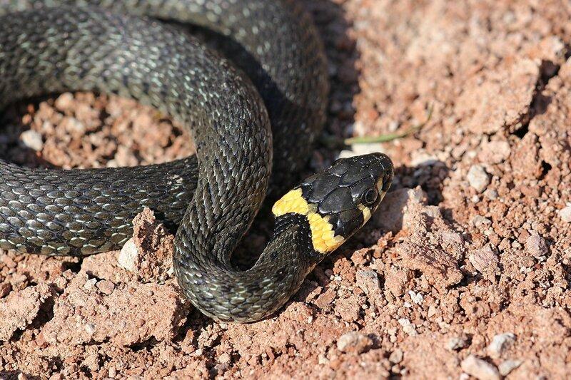 Свернувшийся кольцами уж обыкновенный (Natrix natrix) - змея тёмно-серого цвета с чёрным узором и жёлтыми «ушами» - яркими пятнами в задней части головы