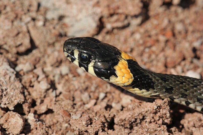 Голова ужа обыкновенного (Natrix natrix) в профиль - змея тёмно-серого цвета с чёрным узором и жёлтыми «ушами» - яркими пятнами в задней части головы