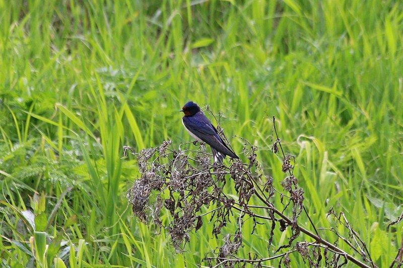 Ласточка деревенская (Hirundo rustica) с темно-синей спинкой и ржавым горлом сидит на сухой травинке у реки