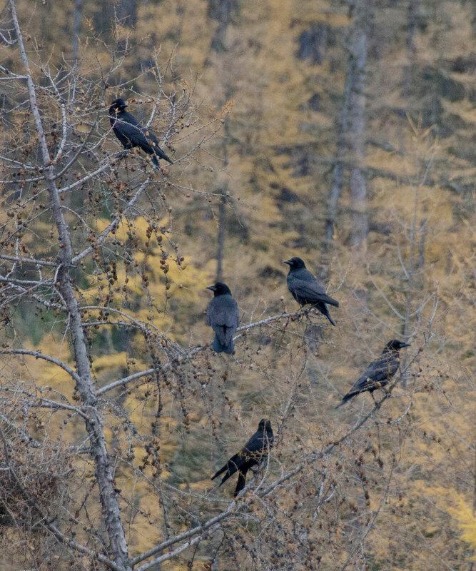чорные вороны.jpg