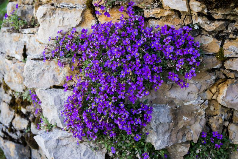 фиолетовые цветы на скалах