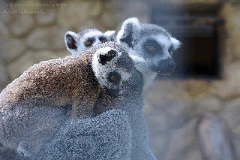 Лемуры катта мать и детеныши