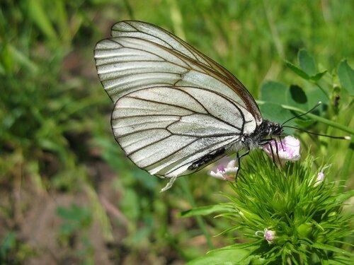 Боя́рышница (лат. Aporia crataegi)
