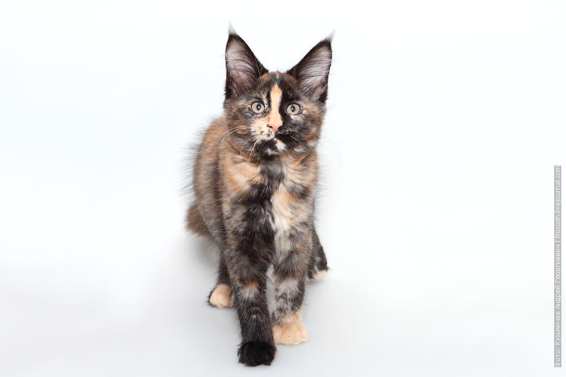 черепаховый окрас котенок мейн кун