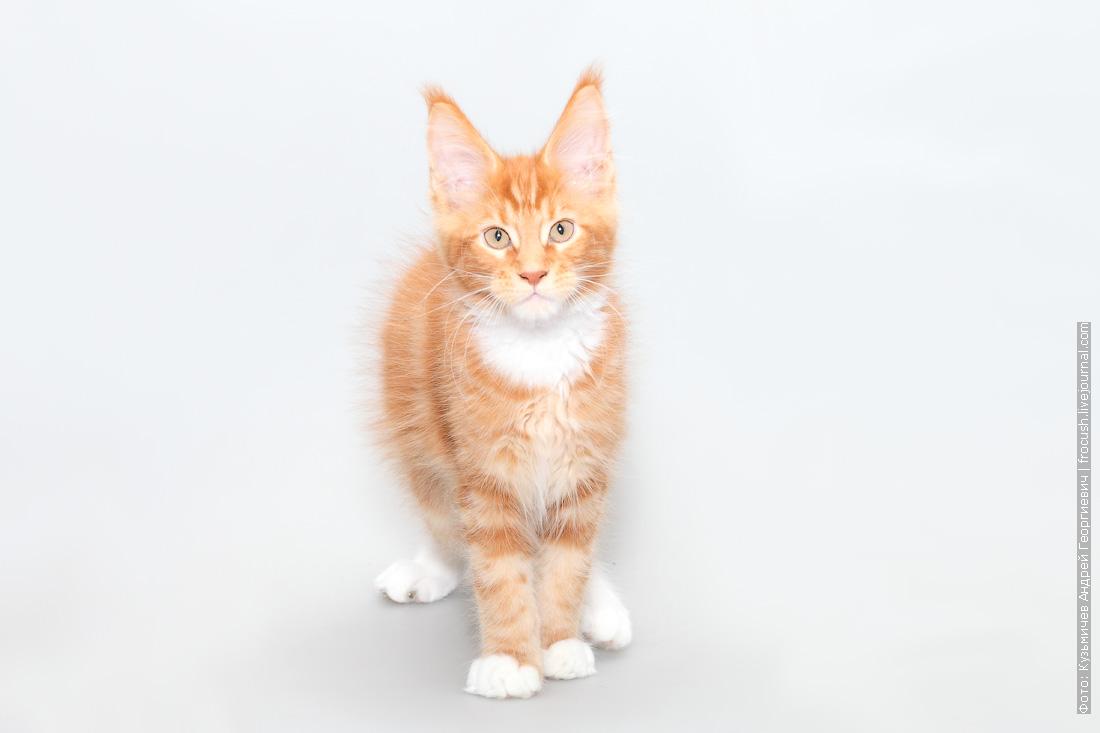 красный мраморный с белым котенок мейнкун