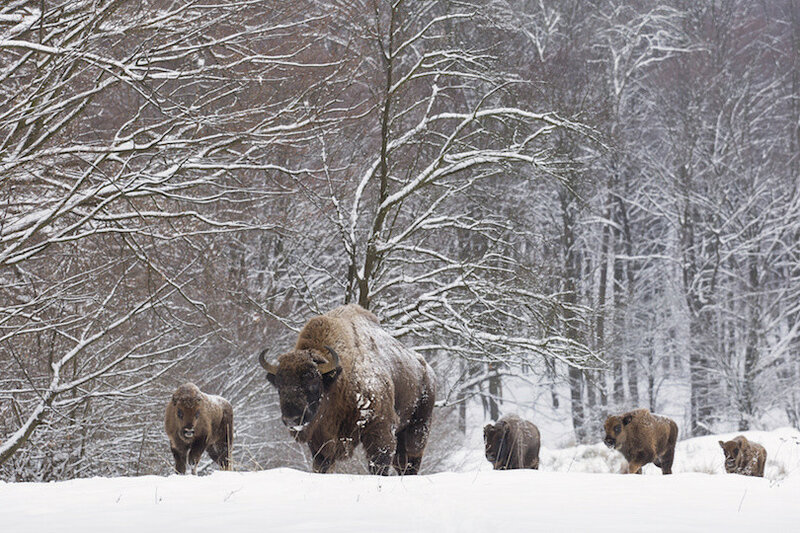 Bison family in winter day in the snow