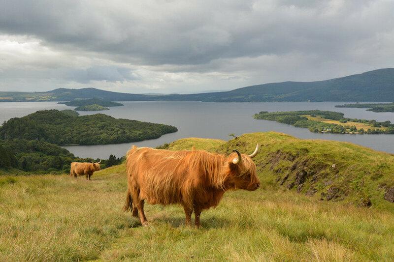 Highland Cattle above Loch Lomond, Scotland, UK
