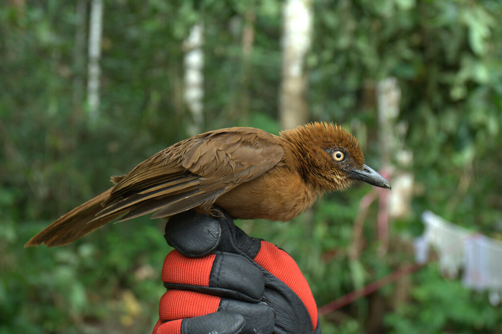 Еще одна ядовитая птица