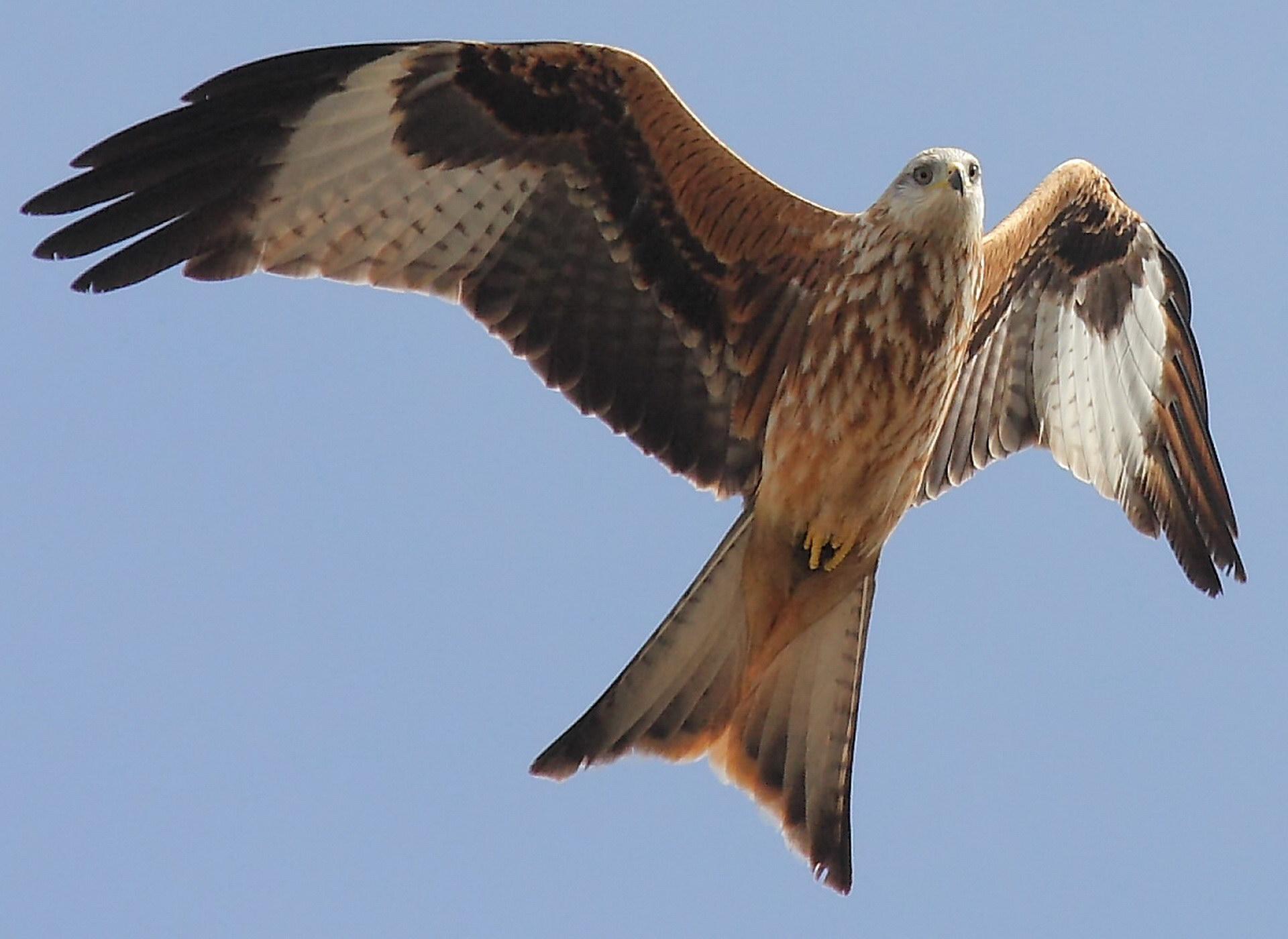 Летить орел