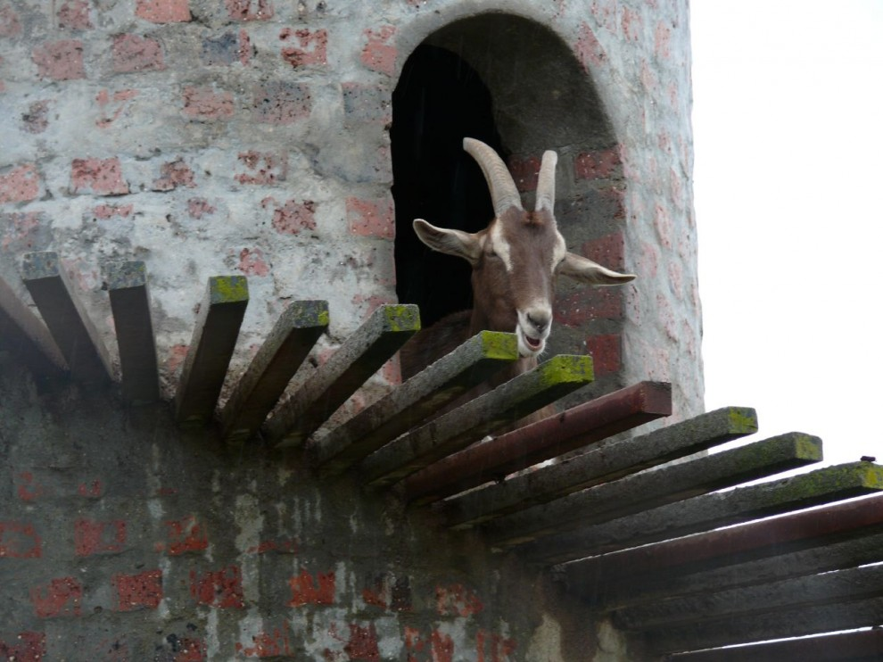 7. Вот бы археологи лет так через 5 тысяч удивились, найдя в этой башне останки коз.