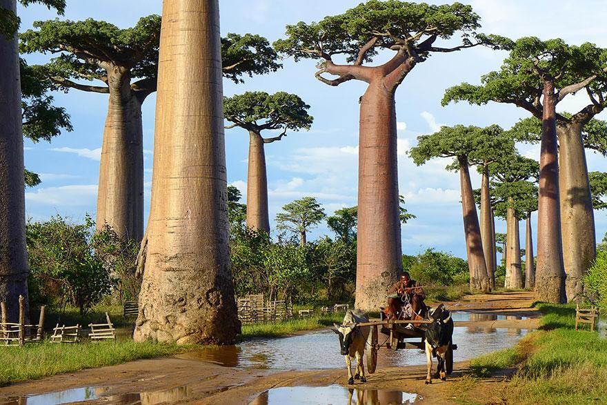 16. Баобабы, Мадагаскар