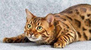 Почему нельзя смотреть в глаза кошке ?
