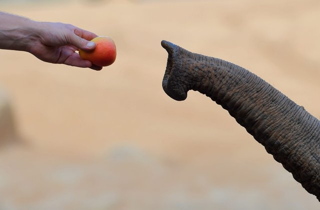 A zoo keeper hand feeds fruit to an Asian elephant at Melbourne Zoo in Melbourne, Australia, 03 Marc