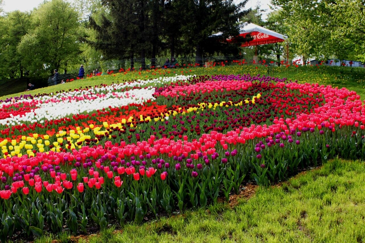 Фигура из тюльпанов