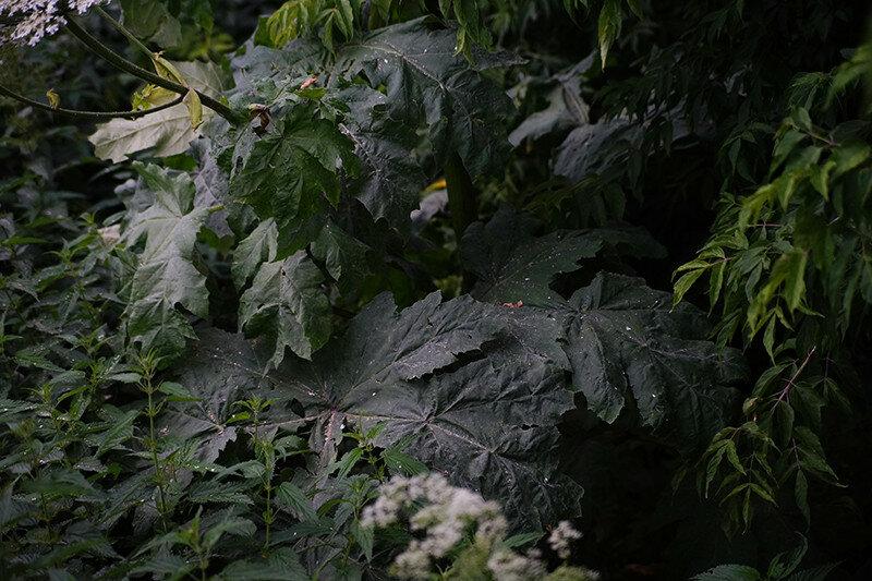 Борщевик у парка Победы в Твери скосят на следующей неделе / фото