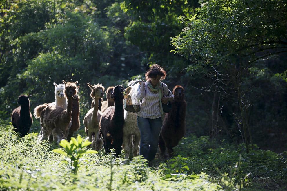 12. На сегодняшний день в высокогорном поясе Южной Америки обитает около трех миллионов альпак, боль
