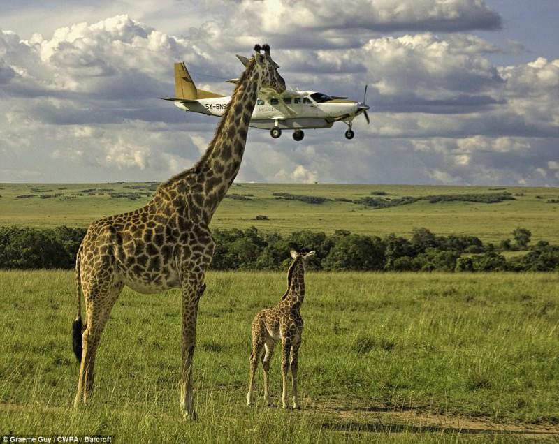 Жираф заглядывает в маленький самолет на снимке Грэма Гая, сделанном 17 ноября 2008 года в Кении.