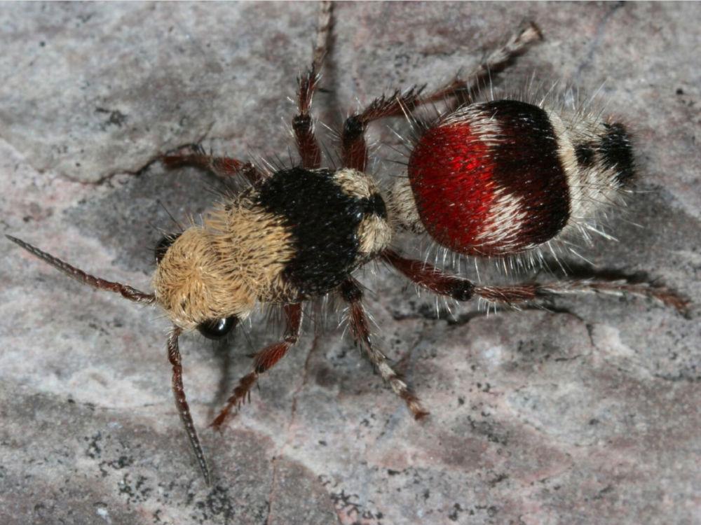 Самки бархатных муравьев — бескрылые осы, чей размер варьируется от маленьких, как 6-миллиметровая D