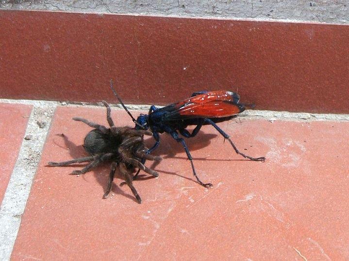 Оса — истребитель тарантулов Научное название: Pepsis spp. Регион обитания: Северная, Центральная и