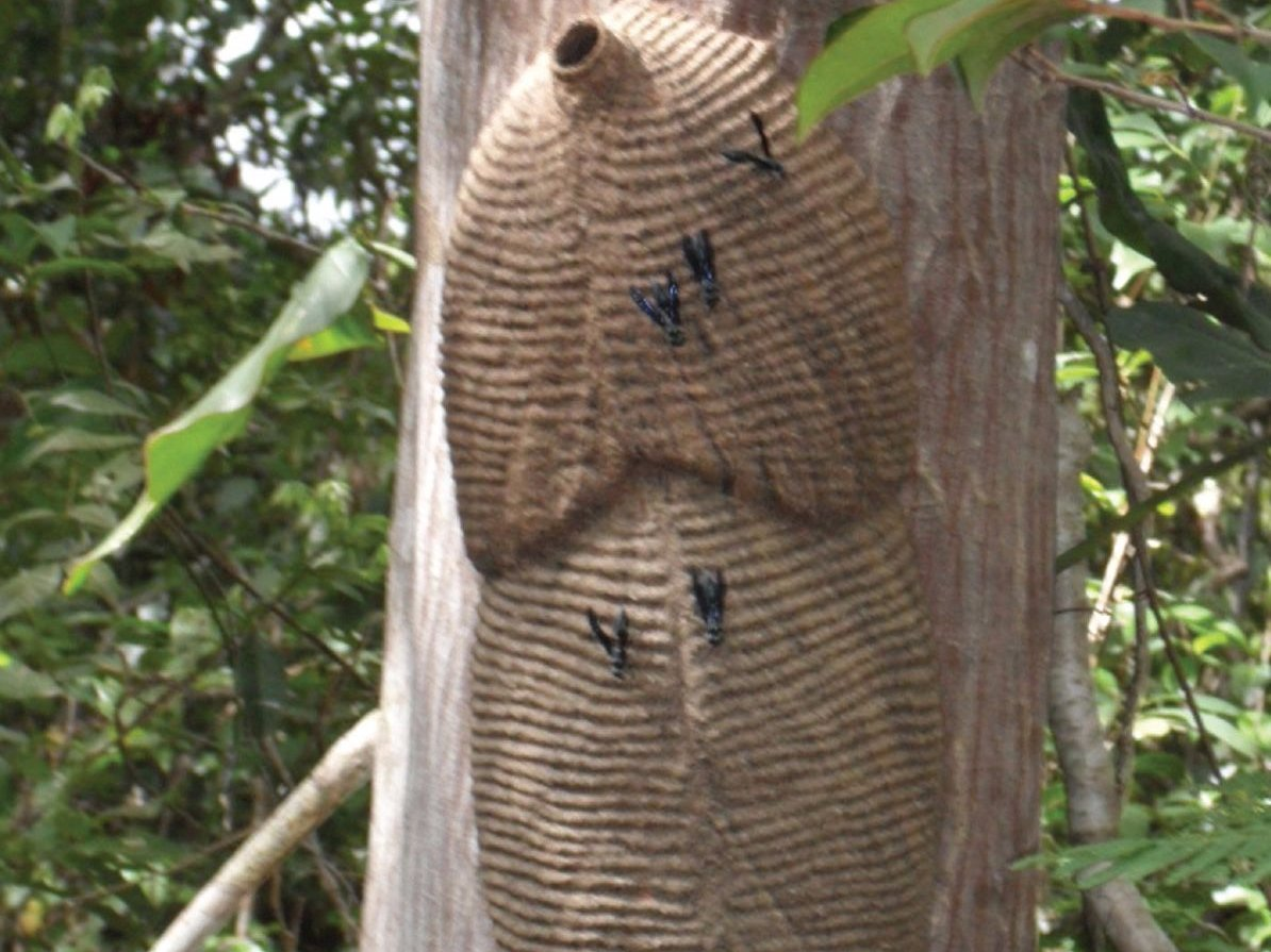 Броненосная оса Научное название: Synoeca septentrionalis. Регион обитания: Центральная и Южная Амер