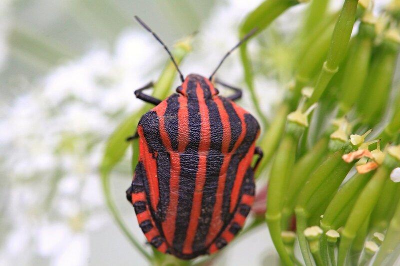Красный в продольную чёрную полоску итальянский клоп (Щитник линейчатый, или графозома полосатая, лат. Graphosoma lineatum)