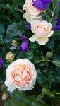Розы 2017г июнь-июль