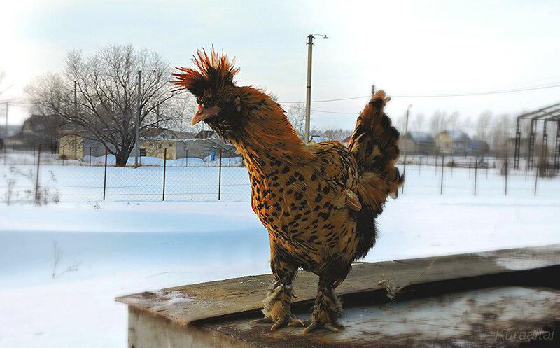 ноябрь, павловская порода кур