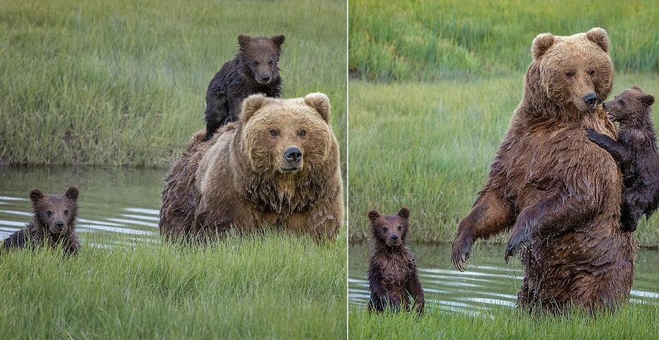 Трогательный момент: мама-медведица перевезла маленького медвежонка через реку