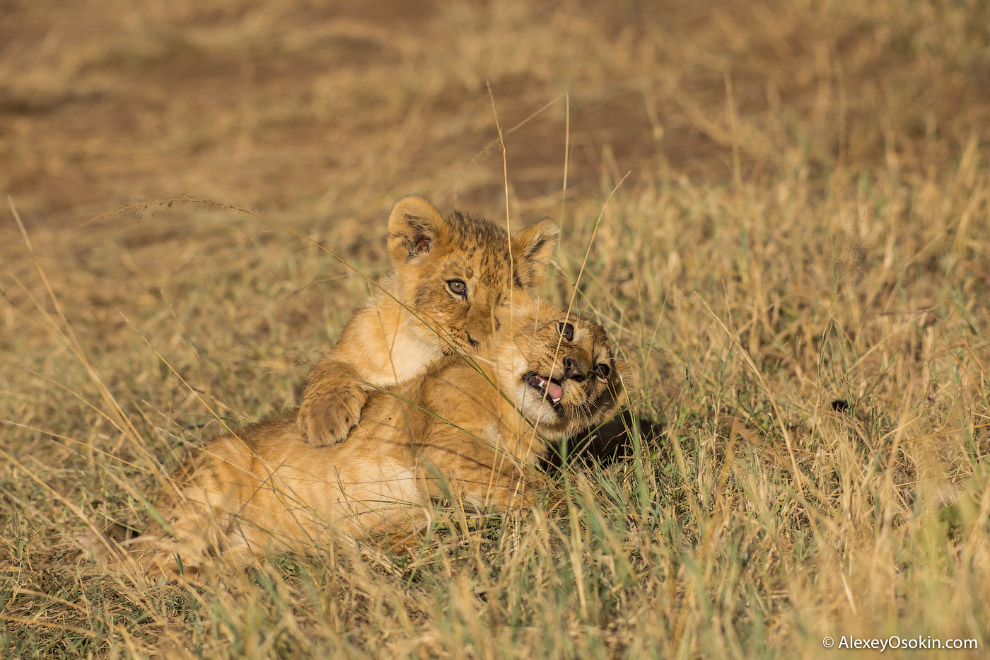 5. Львы, живущие в неволе, как правило, весят больше тех хищников, которые обитают в дикой прир