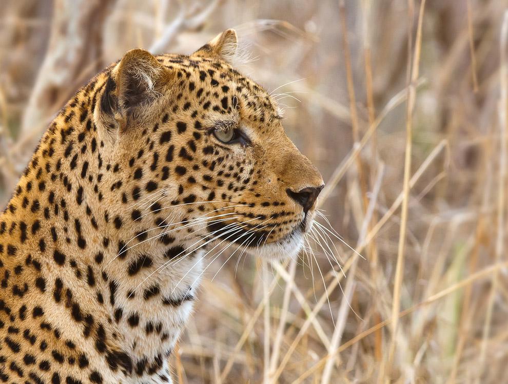 Индийский леопард (Panthera pardus fusca) Это второй по численности подвид. На сегодняшний день