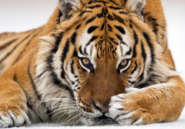 Тигр — символ России? Все подвиды самой красивой кошки (7 фото)