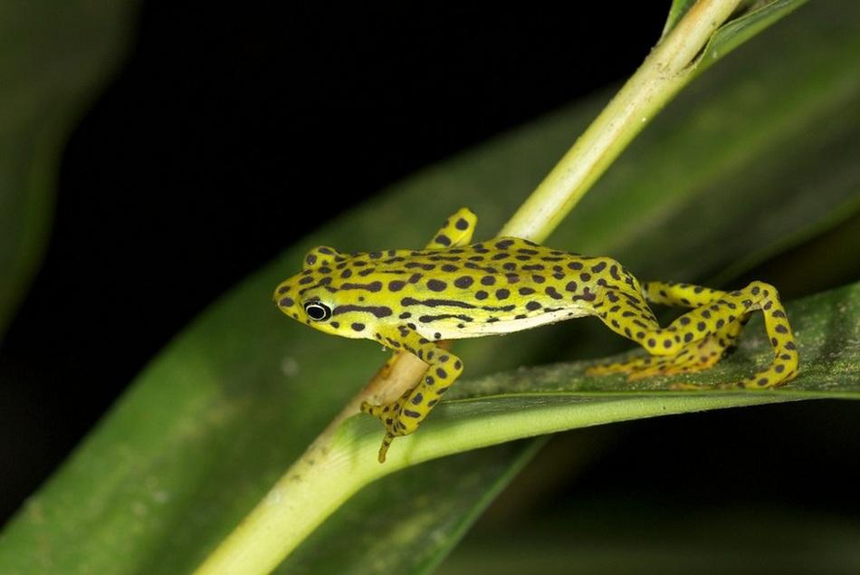 В настоящее время точное количество особей этих лягушек неизвестно. Проживают они в Эквадоре, в пров