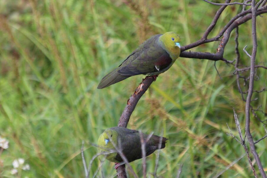 Клинохвостый зеленый голубь