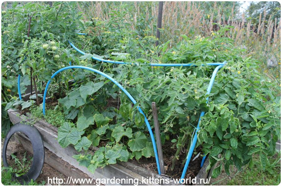 Посадка и выращивание томатов в открытом грунте