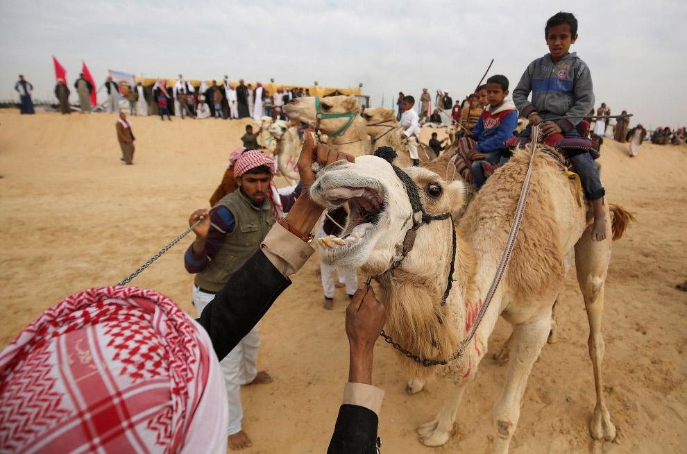 3. Как уже говорилось, в скачках на верблюдах в Египте участвуют дети до 11 лет. Здесь же видн