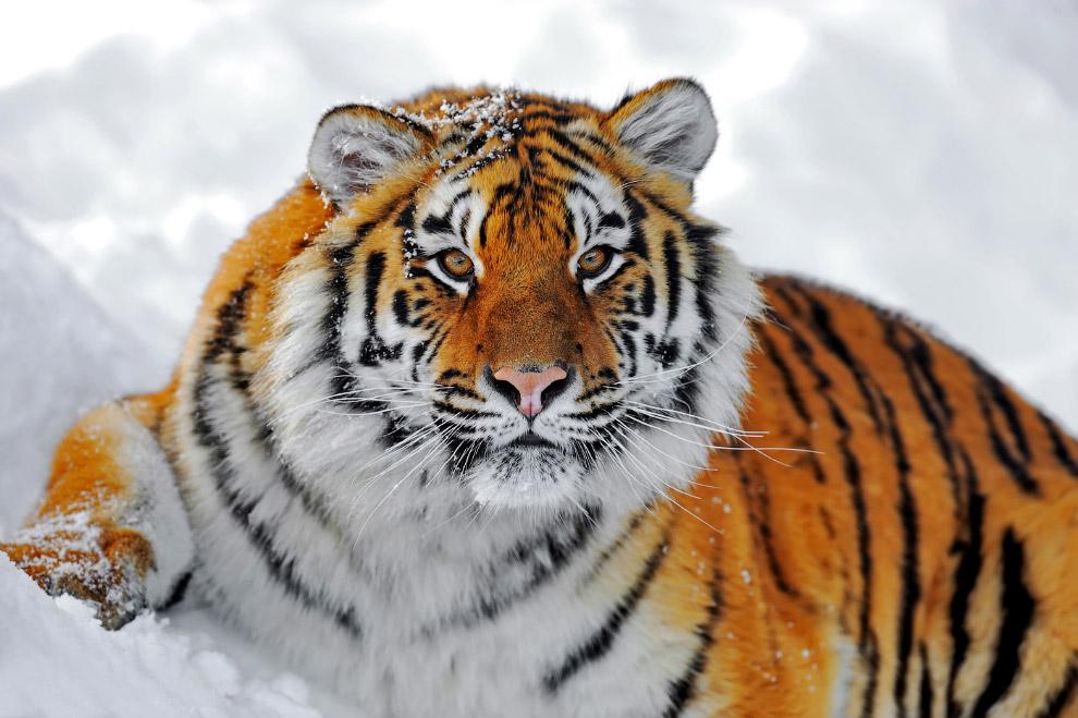 11. Леопард — моя любимая кошка в принципе, причем как в России, так и в Африке и Азии. Но наш