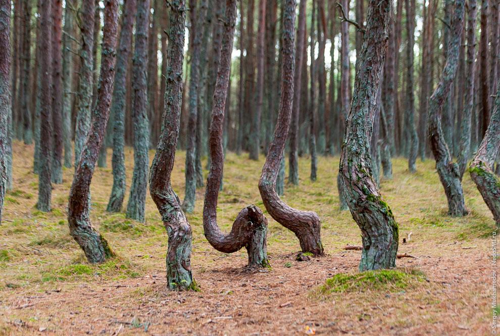 Эти деревья были посажены для укрепления песков Куршской косы всего-лишь в 1961 году. Легенды р